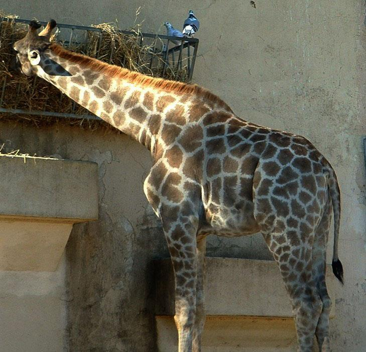 Photo of a giraffe eating hay from a wire container placed at eye level.