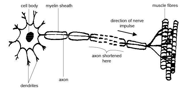 """Diagram of a motor neuron nerve cell. A circular cell body is surrounded by spiky dendrites, which is connected to a series of long, oval myelin sheaths with an axon in the middle. The third axon and myelin sheath segment is dashed and labeled """"axon shortened here"""". The structure ends at three rod-shaped structures labeled muscle fibres. An arrow indicates the direction of nerve impulse towards the muscle fibres."""