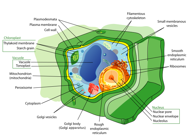 Diagram of a plant cell. In the intereor is a nucleolus surrounded by a nuclear envelope covered with nuclear pores. The rough encoplasmic and smooth endoplasmic reticulum are outside. Other components include the Golbi body (Golgi apparatus), small Golgi vesicles, a peroxisome, mitochondrion, a large hollow vacuole/Tonoplast, a Thylakoid membrane/Starch grain, a filamentous cytoskeleton, small membranous vesicles. The cell also contains cytoplasm. The cell is covered by the plasma membrane, then the cell wall, which also contains plasmodesmata.